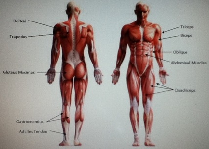 The Muscular System Body Systems And Smoking